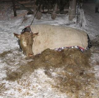Junge Kuh in Jauchengrube